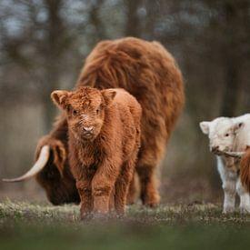 Veau écossais Highlander avec troupeau en arrière-plan sur Maarten Oerlemans