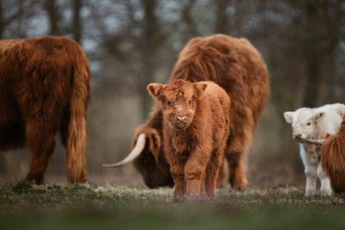 Veau écossais Highlander avec troupeau en arrière-plan