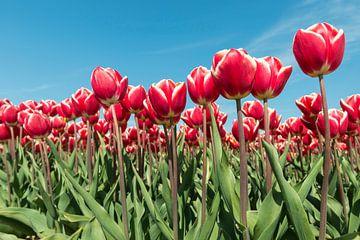 Rood en wit tulpenveld in de Noordoostpolder von Tonko Oosterink