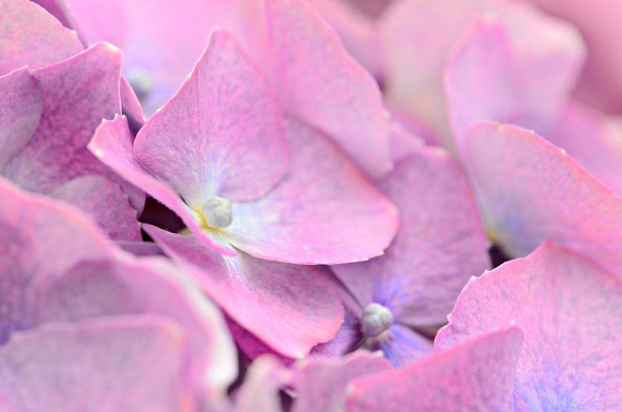 Hortensia zachtroze