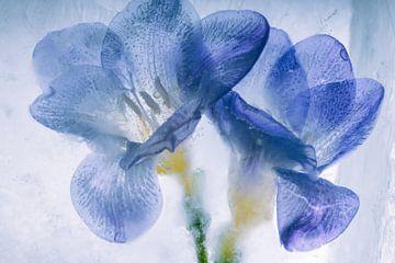 Blauwe fresia's in ijs 1 van Marc Heiligenstein