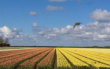 Gekleurd tulpenveld / Colored tulipfield
