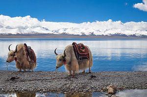 2 yaks in Tibet van