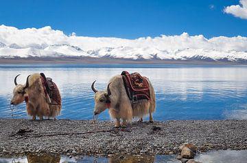 2 yaks in Tibet von Dennis Timmer