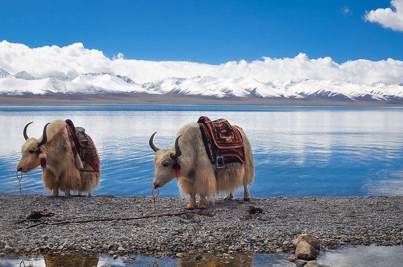 2 yaks in Tibet van Dennis Timmer