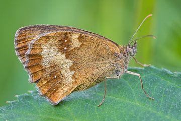Brauner Schmetterling auf Blatt von Fokko Erhart