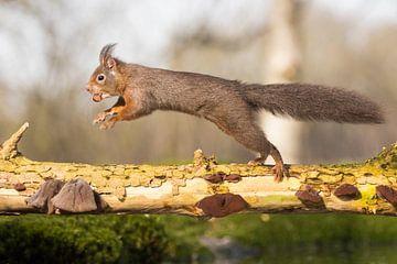 Eekhoorn in de sprong -met beukennoot van Servan Ott