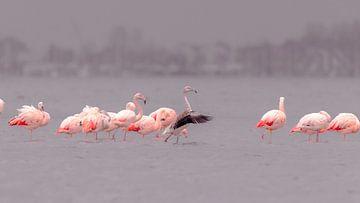 Flamingo's in de Hollandse delta van René van Leeuwen