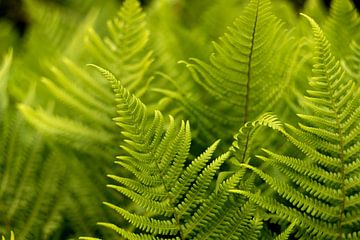 grüne Farne, böhmischer Stil, Fine Art Fotografie von Karijn | Fine art Natuur en Reis Fotografie