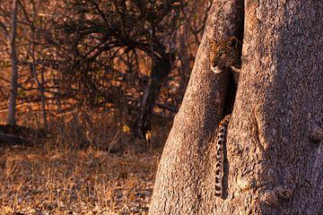 Middag gloed Botswana luipaard  van Lotje Hondius