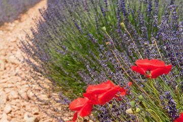 Lavendelfelder mit rotem Mohn in der französischen Provence auf der Hochebene von Valensole von Ivonne Wierink