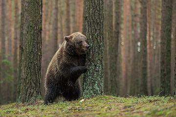 European Brown Bear ( Ursus arctos ) plays hide and seek van wunderbare Erde