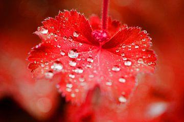 Rood blad met waterdruppels von Seasons of Holland