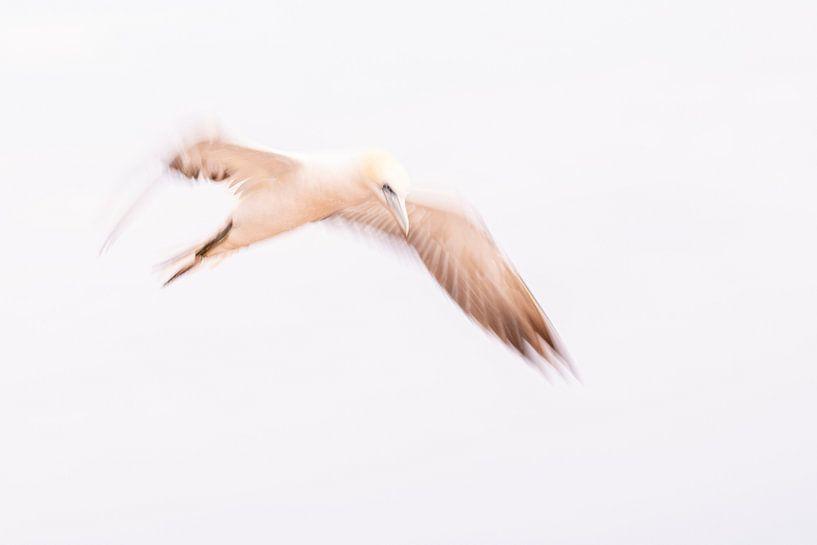 Ein abstrakter Eindruck von einem Gannet im Flug 8 von Danny Budts