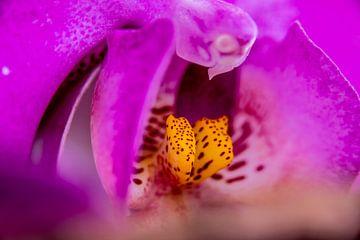 Rosa Schmetterlingsorchidee von de buurtfotograaf Leontien