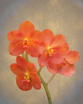 Rode scharlaken orchidee op grunge van