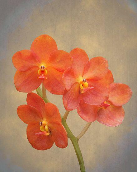 Rode scharlaken orchidee op grunge
