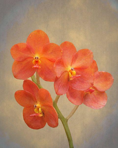 Rode scharlaken orchidee op grunge van Rudy Umans