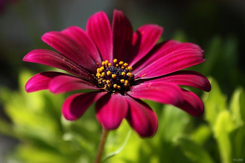 pink beauty von Meleah Fotografie