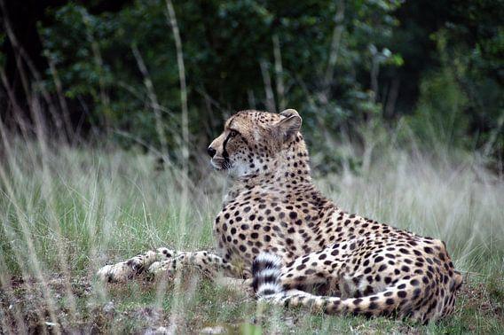 Cheetah in rust van Ina Hölzel