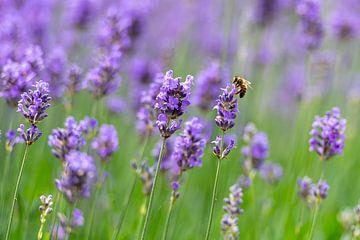 Bei Lavendel