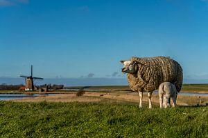 Moeder met lammetje Molen het Noorden Texel