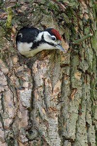 Buntspecht ( Dendrocopos major ) klettert aus der Bruthöhle heraus, wird flügge, wildlife, Europa.
