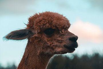Alpaca van Dustin Musch