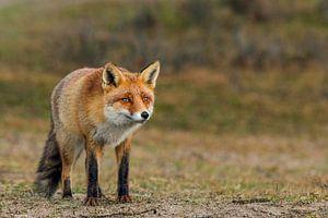 Kijkende vos van