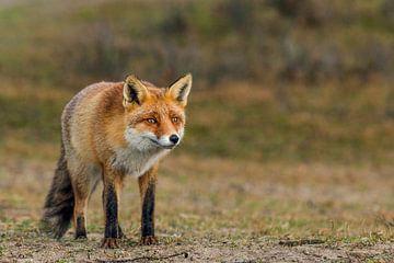 Kijkende vos van Eelke Cooiman