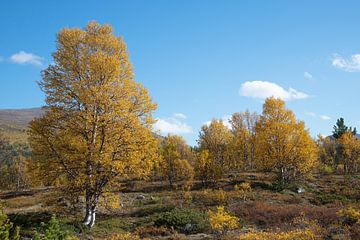 Berkenbomen in de herfst van Barbara Brolsma