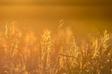 Gouden Rietpluimen van Robert van Brug
