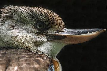 Kookaburra : Königlicher Bürgerzoo von Loek Lobel