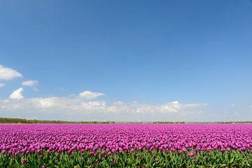 Leuchtend lila Tulpen wachsen in einem Feld von Sjoerd van der Wal
