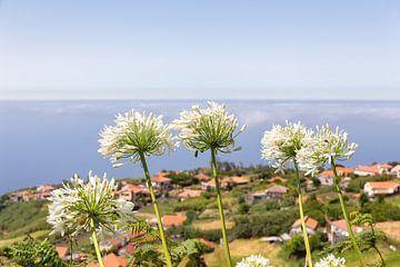 Gruppe der weißen Agapanthus Blumen auf der portugiesischen Dorf an der Küste von