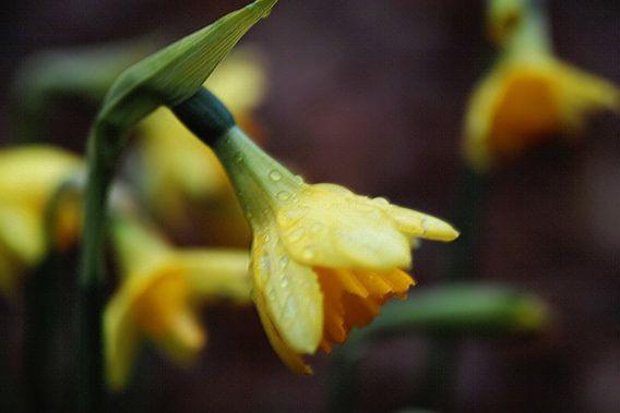 Narcissen na een regenbui.