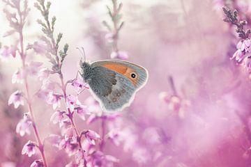 Schmetterling (Heufliege) auf dem blühenden rosa-violetten Heidekraut von KB Design & Photography (Karen Brouwer)