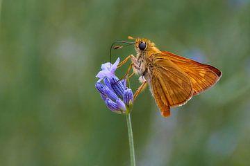 Vlinder Dikkopje van Ad Jekel