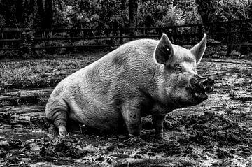 varken boederij zwart wit van Tom Poelstra