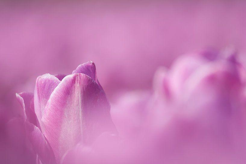 Close up van tulpen in bollenveld van Eddy 't Jong