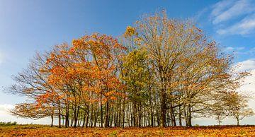 Gruppe Buchenbäume im Herbst während eines schönen Tages von Sjoerd van der Wal
