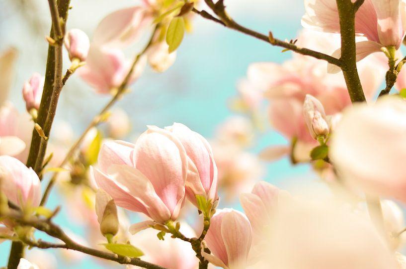 Magnolie Frühlingsblüten 6 von Joske Kempink