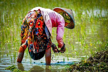 Frau Bäuerin mit buntem Rock arbeitet im Reisfeld in Bali Indonesien von Dieter Walther