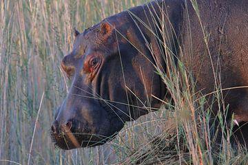 Nijlpaard van Petervanderlecq