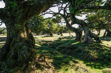 Laurierwouden Fanal (Madeira / Portugal) sur Joris Pannemans - Loris Photography