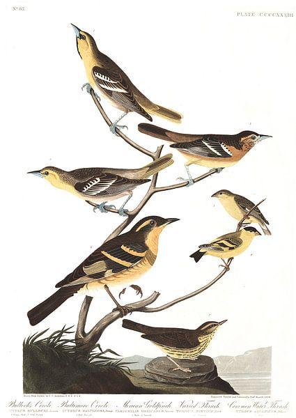 Bullocks Troepiaal van Birds of America