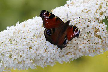 Vlinder Dagpauwoog op vlinderstruik van Cora Unk