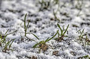 Des lames d'herbe dans la neige