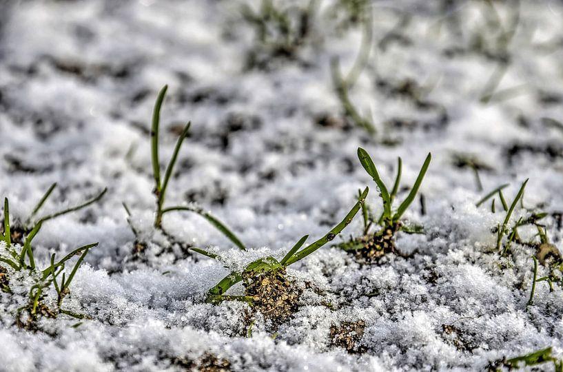 Grassprieten in de sneeuw van Frans Blok