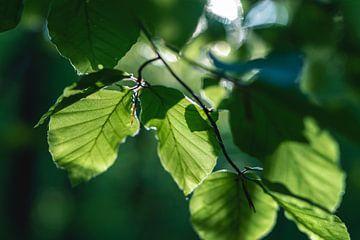 Bladeren in het zonlicht van Florian Kunde